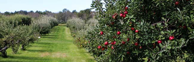 technologie-grusze-jablonie