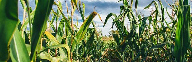 technologie-kukurydza
